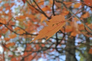 Fall foliage MN